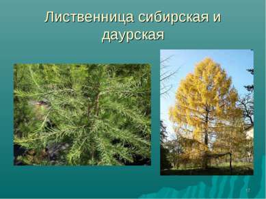 * Лиственница сибирская и даурская