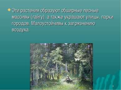 * Эти растения образуют обширные лесные массивы (тайгу), а также украшают ули...