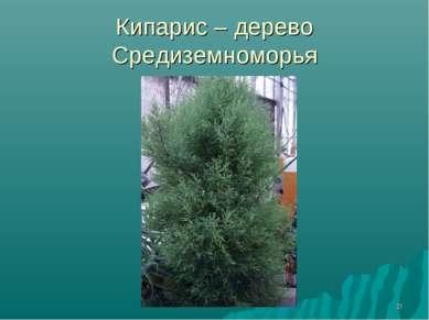 * Кипарис – дерево Средиземноморья