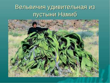 * Вельвичия удивительная из пустыни Намиб