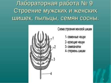* Лабораторная работа № 9 Строение мужских и женских шишек, пыльцы, семян сосны.