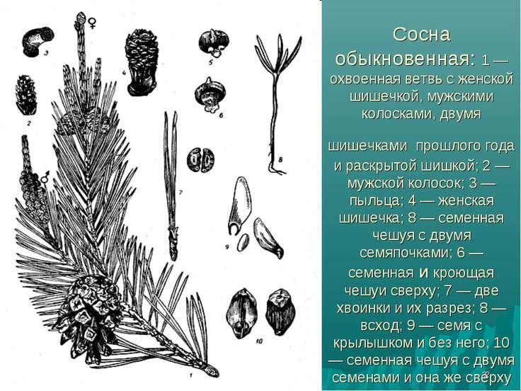 * Сосна обыкновенная: 1 — охвоенная ветвь с женской шишечкой, мужскими колоск...