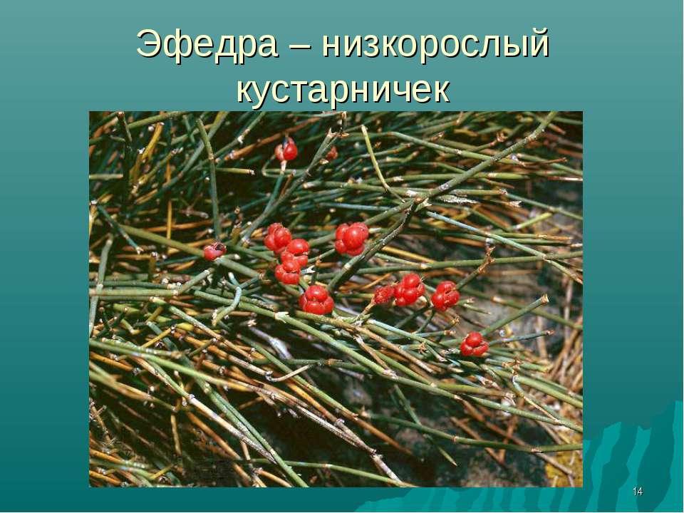 * Эфедра – низкорослый кустарничек