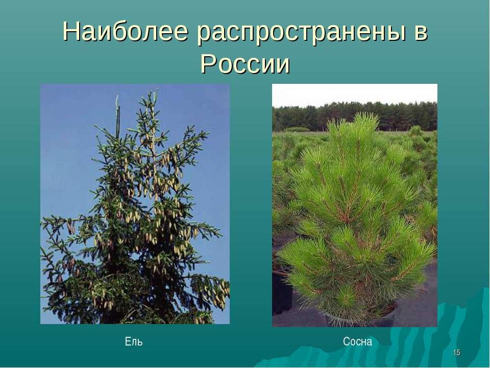 * Наиболее распространены в России Ель Сосна