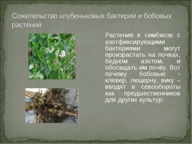 Растения в симбиозе с азотфиксирующими бактериями могут произрастать на почва...