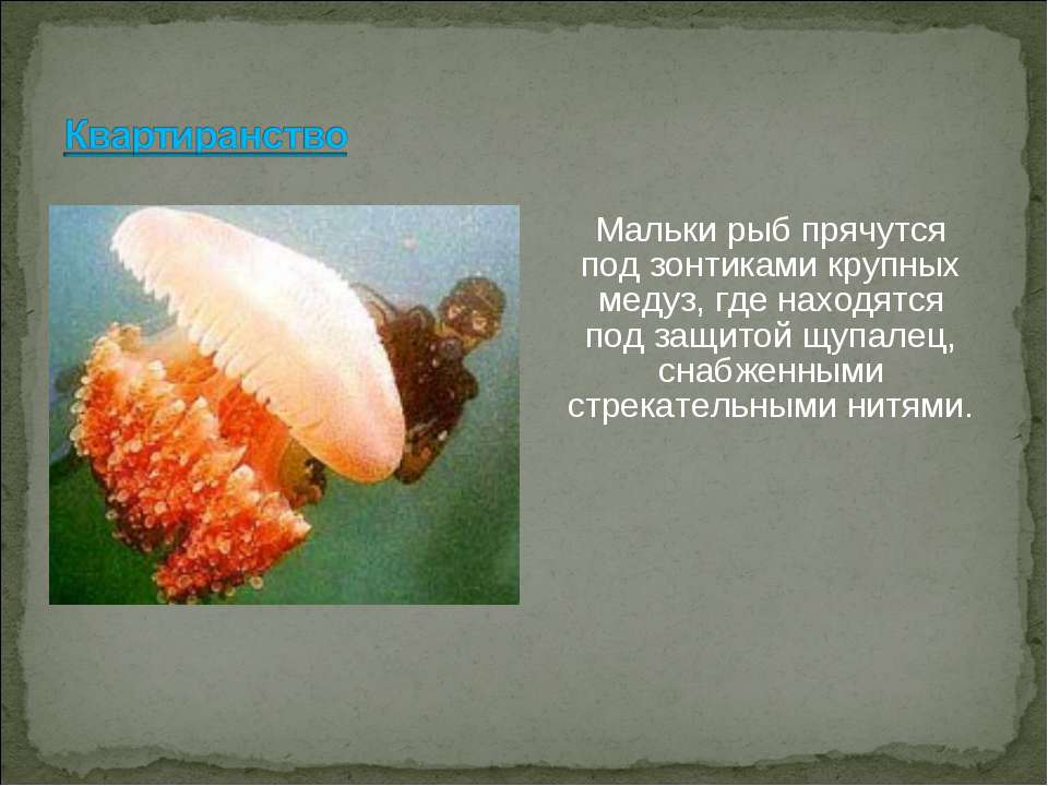 Мальки рыб прячутся под зонтиками крупных медуз, где находятся под защитой щу...