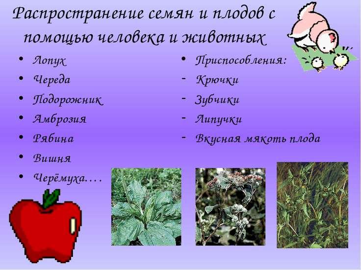Распространение семян и плодов с помощью человека и животных Лопух Череда Под...