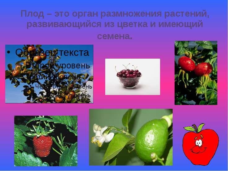 Плод – это орган размножения растений, развивающийся из цветка и имеющий семена.