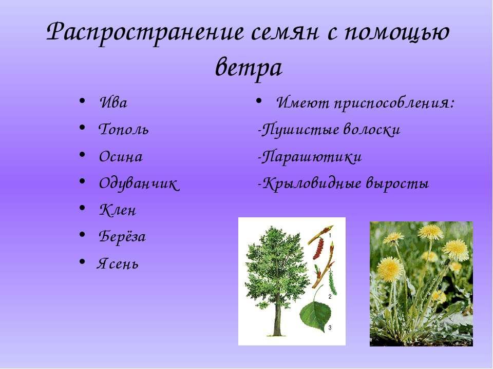 Распространение семян с помощью ветра Ива Тополь Осина Одуванчик Клен Берёза ...