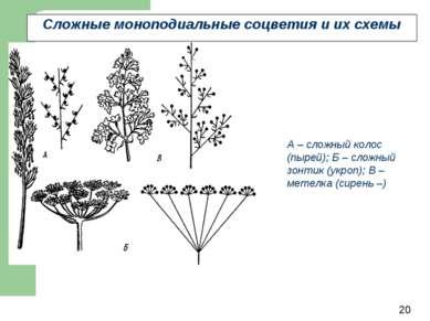 Сложные моноподиальные соцветия и их схемы А – сложный колос (пырей); Б – сло...
