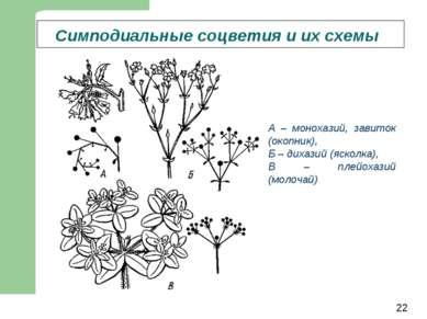 Симподиальные соцветия и их схемы А – монохазий, завиток (окопник), Б – дихаз...