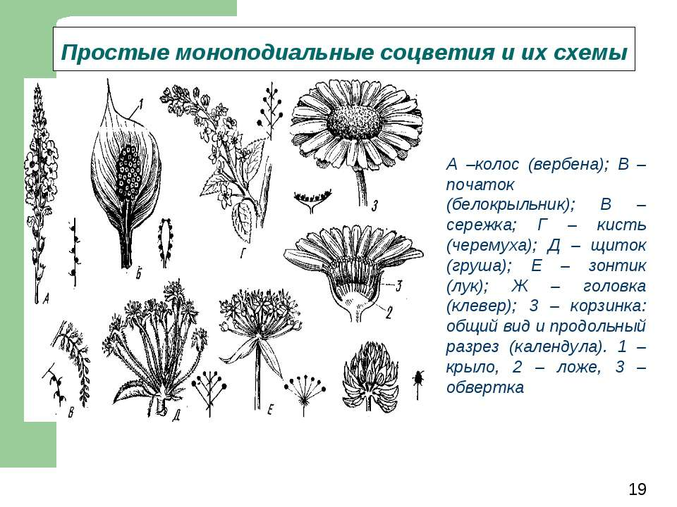 Простые моноподиальные соцветия и их схемы А –колос (вербена); В – початок (б...
