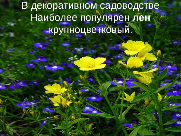 В декоративном садоводстве Наиболее популярен лен крупноцветковый.