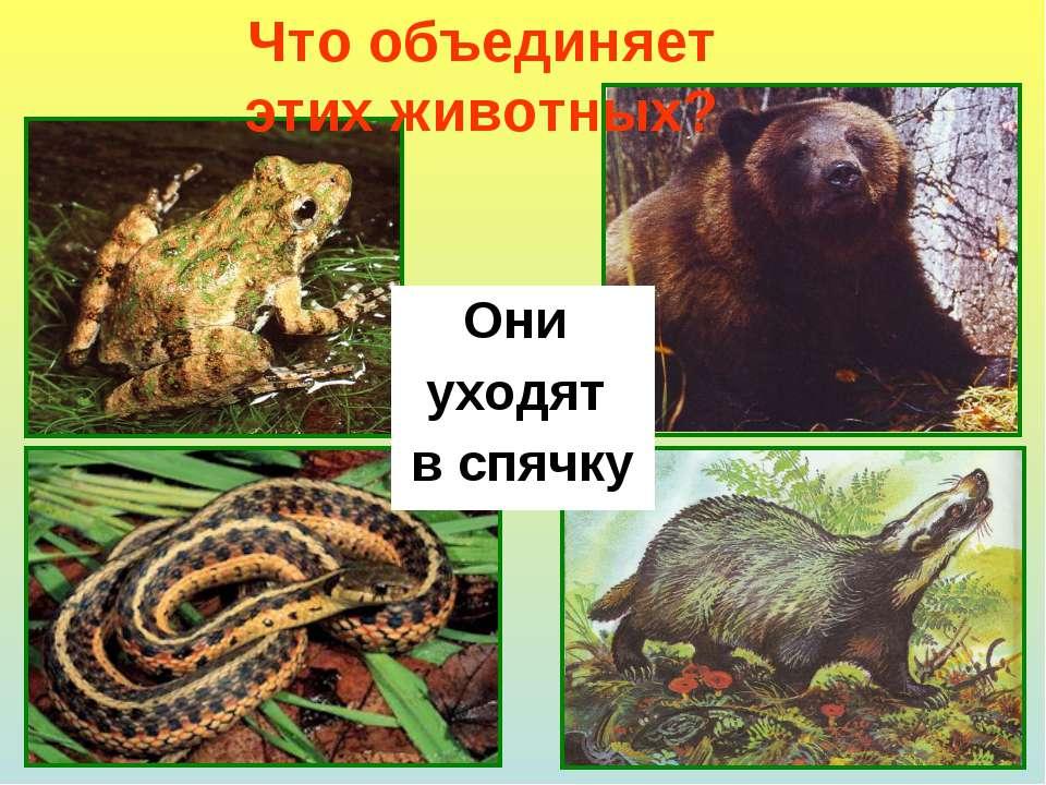 Что объединяет этих животных? Они уходят в спячку