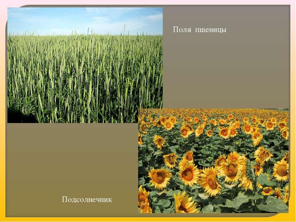 Поля пшеницы Подсолнечник