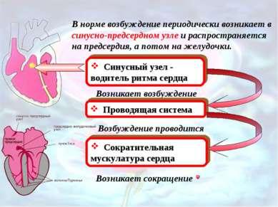 В норме возбуждение периодически возникает в синусно-предсердном узле и распр...