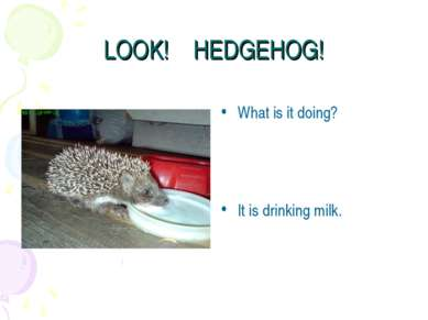 LOOK! HEDGEHOG! What is it doing? It is drinking milk.