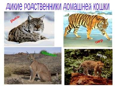 тигр ягуар рысь каракал