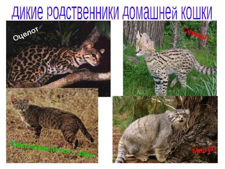 Оцелот Сервал Манул Камышовый кот - хаус