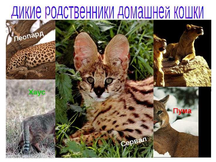 Леопард Лев Хаус Сервал Пума