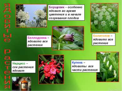 Борщевик – особенно ядовит во время цветения и в начале созревания плодов Бол...