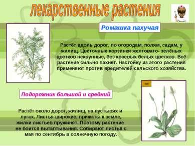 Ромашка пахучая Растёт вдоль дорог, по огородам, полям, садам, у жилищ. Цвето...