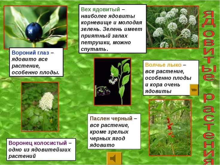 Вороний глаз – ядовито все растение, особенно плоды. Вех ядовитый – наиболее ...