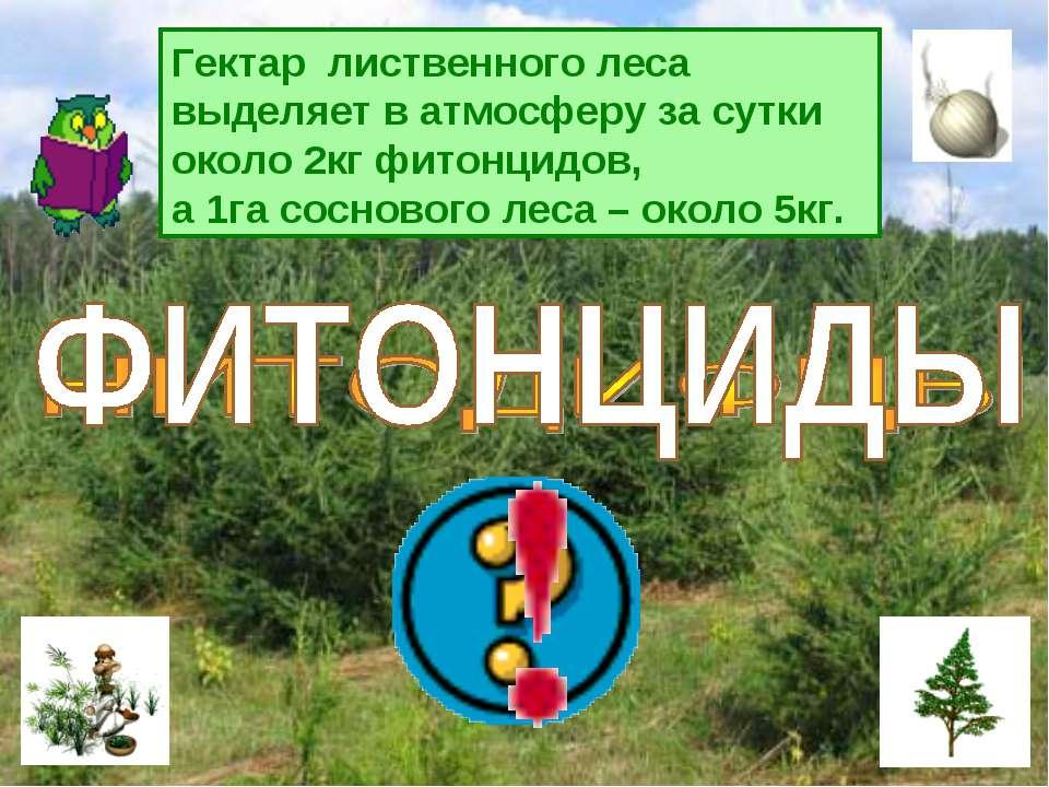 Гектар лиственного леса выделяет в атмосферу за сутки около 2кг фитонцидов, ...