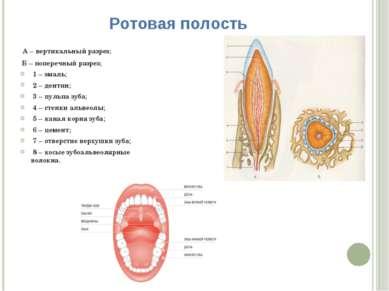 Ротовая полость А – вертикальный разрез; Б – поперечный разрез; 1 – эмаль; 2 ...