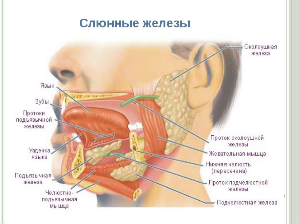 Слюнные железы