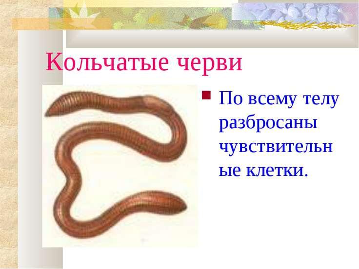 Кольчатые черви По всему телу разбросаны чувствительные клетки.