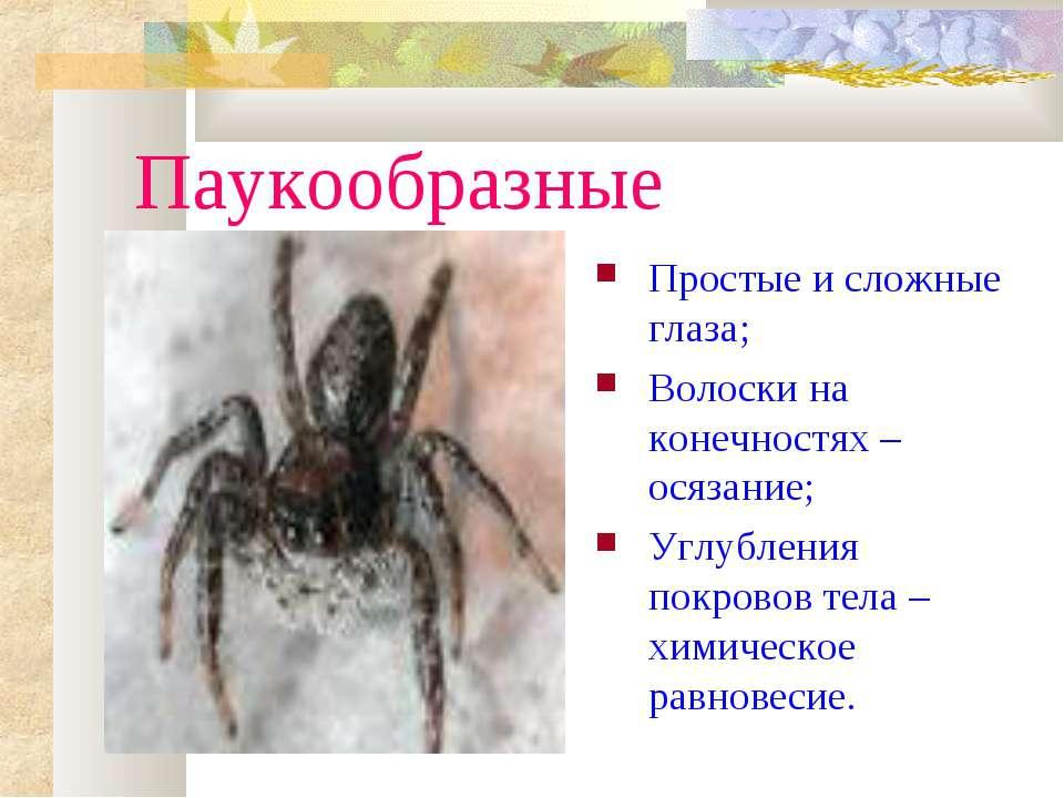 Паукообразные Простые и сложные глаза; Волоски на конечностях – осязание; Угл...