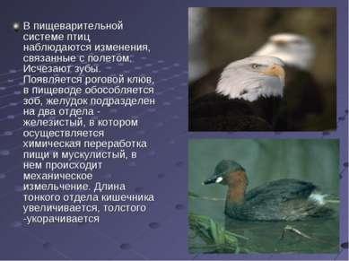 В пищеварительной системе птиц наблюдаются изменения, связанные с полетом. Ис...