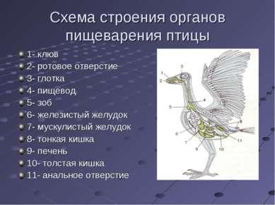 Схема строения органов пищеварения птицы 1- клюв 2- ротовое отверстие 3- глот...