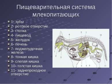 Пищеварительная система млекопитающих 1- зубы 2- ротовое отверстие 3- глотка ...