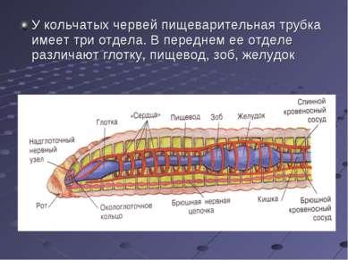 У кольчатых червей пищеварительная трубка имеет три отдела. В переднем ее отд...