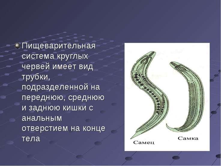 Пищеварительная система круглых червей имеет вид трубки, подразделенной на пе...