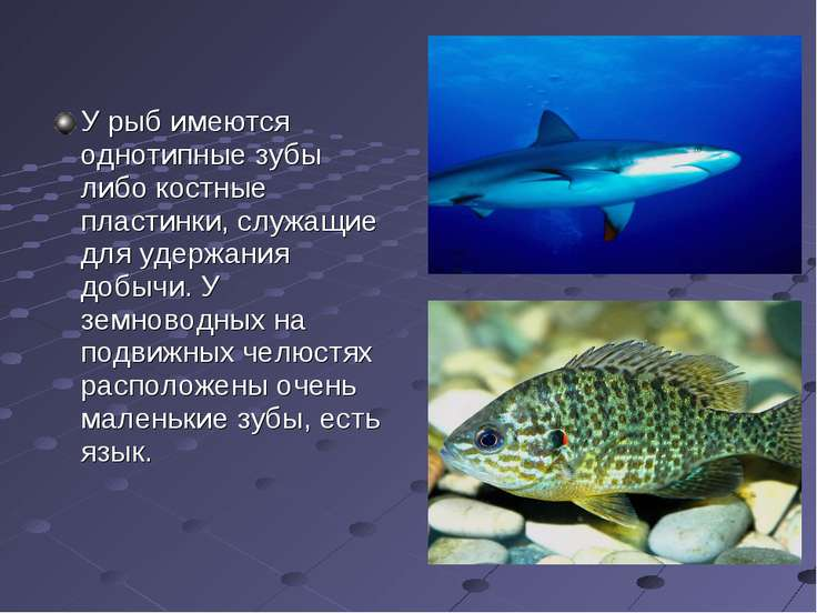 У рыб имеются однотипные зубы либо костные пластинки, служащие для удержания ...