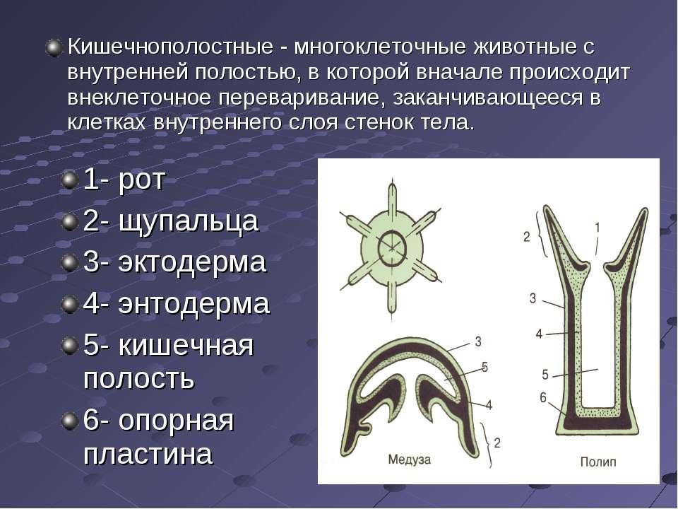 1- рот 2- щупальца 3- эктодерма 4- энтодерма 5- кишечная полость 6- опорная п...