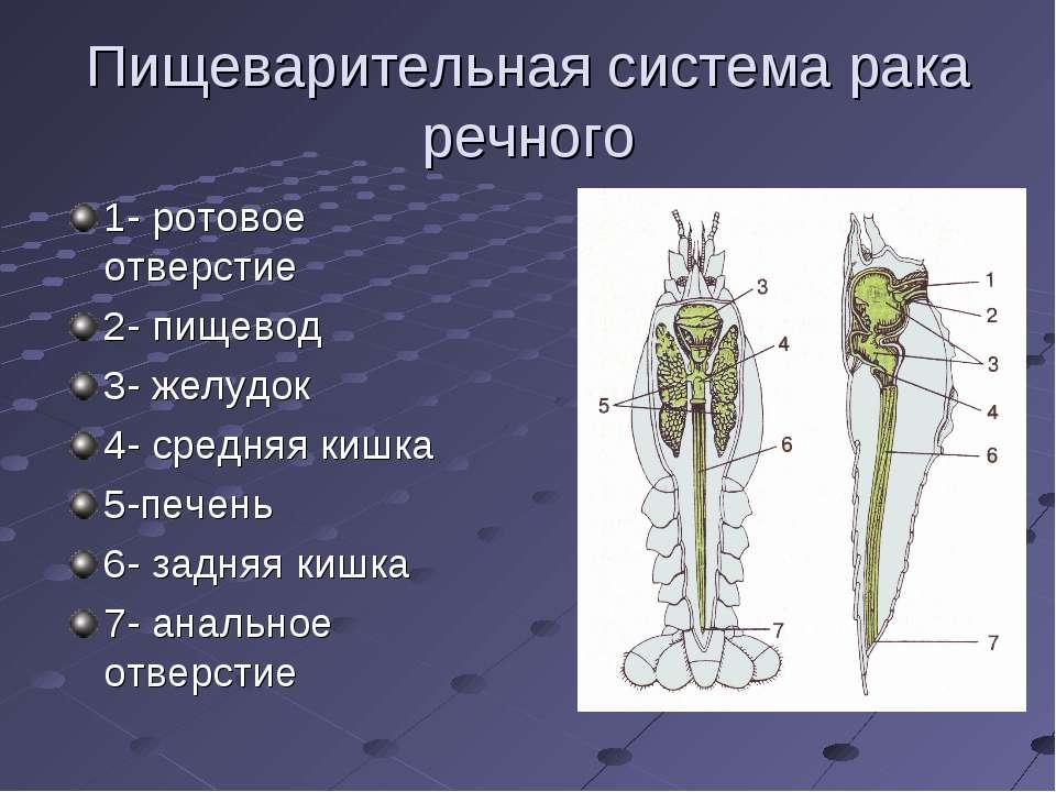 Пищеварительная система рака речного 1- ротовое отверстие 2- пищевод 3- желуд...
