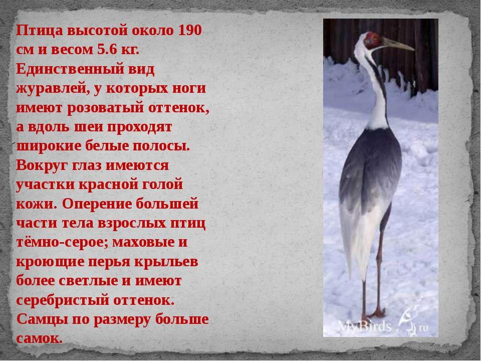 Птица высотой около 190 см и весом 5.6 кг. Единственный вид журавлей, у котор...