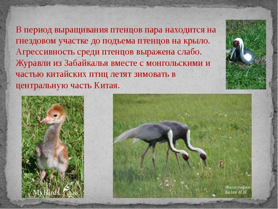 В период выращивания птенцов пара находится на гнездовом участке до подъема п...
