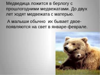 Медведица ложится в берлогу с прошлогодними медвежатами. До двух лет ходят ме...