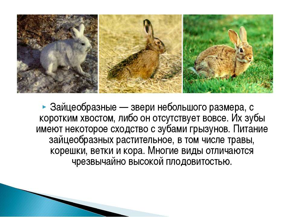 Зайцеобразные— звери небольшого размера, с коротким хвостом, либо он отсутст...