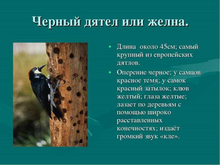Черный дятел или желна. Длина около 45см; самый крупный из европейских дятлов...