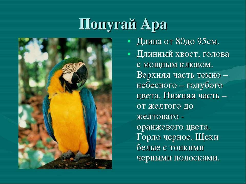 Попугай Ара Длина от 80до 95см. Длинный хвост, голова с мощным клювом. Верхня...
