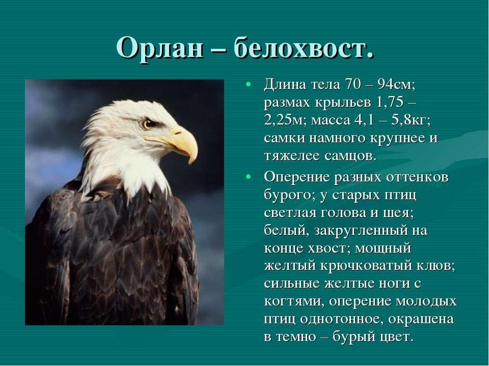 Орлан – белохвост. Длина тела 70 – 94см; размах крыльев 1,75 – 2,25м; масса 4...