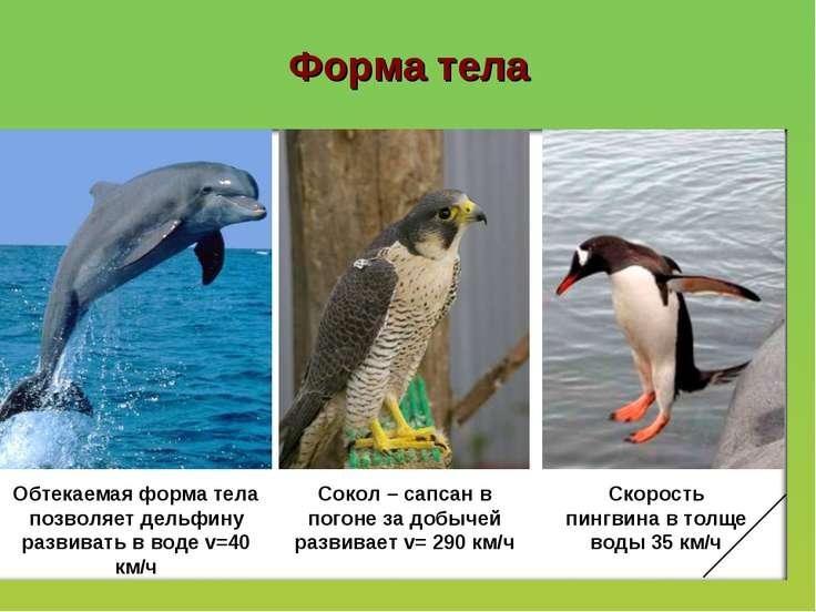 Форма тела Обтекаемая форма тела позволяет дельфину развивать в воде v=40 км/...