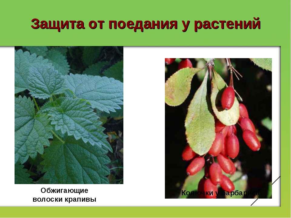 Защита от поедания у растений Обжигающие волоски крапивы Колючки у барбариса