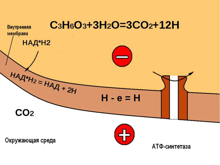 C3H6O3+3H2O=3CO2+12H СО2 Н - е = Н НАД*Н2 НАД*Н2 = НАД + 2Н